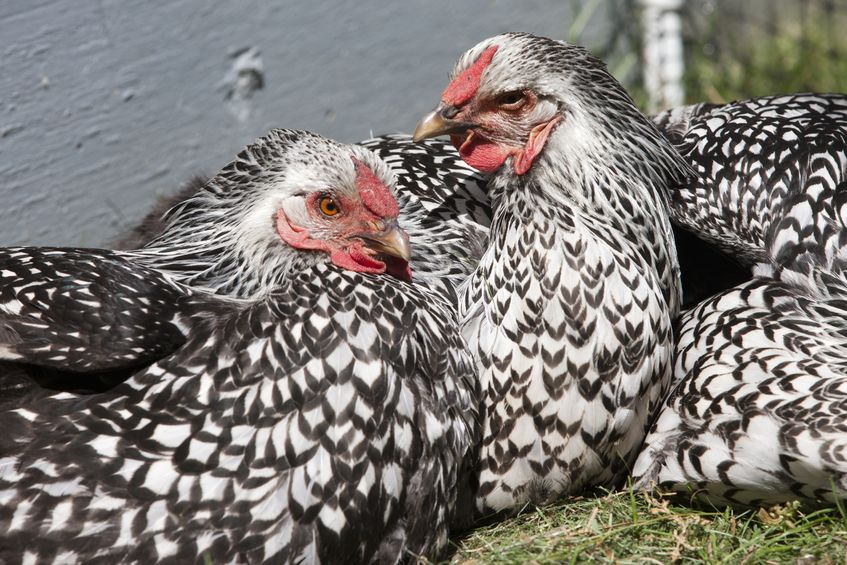 poule-Wyandotte